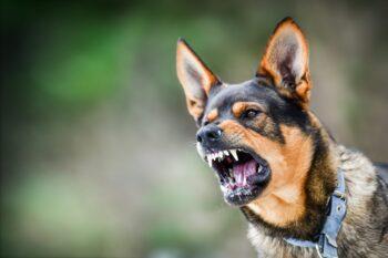 Bidskhed hos hunde